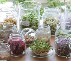 Klice - Životna hrana (kako se uzgajaju i kako-sa cim se koriste u ishrani)