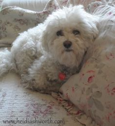 Darling bichon frise in bed of roses