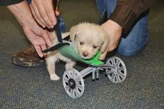 Meet Tumbles, a 6-week-old terrier mix born with only two legs. Find out how people came together to make him a wheelchair so he could get around.