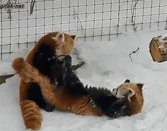 gif, Baby Red Panda
