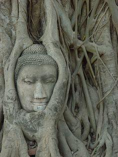 Buddha tree.                                                                                                                                                                                 Plus