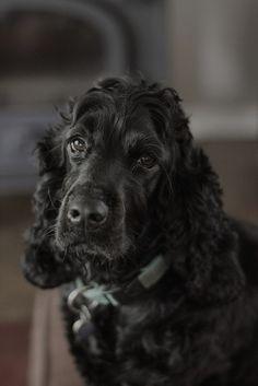 Black American English Cocker Spaniel Puppy Dog #Puppies #Dogs