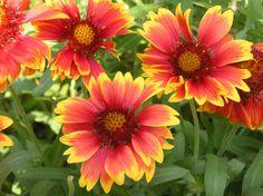 Gaillardia - blanketflower