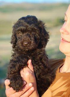 THIS IS EXACTLY WHAT JUSTIN BIEBER LOOKS LIKE AS A PUPPY!!! chocolate #labradoodle puppy