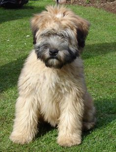 9 Best Soft Coated Wheaten Terrier Images Soft Coated Wheaten Terrier Wheaten Terrier Terrier