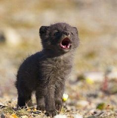 Baby black wolf - how cute!