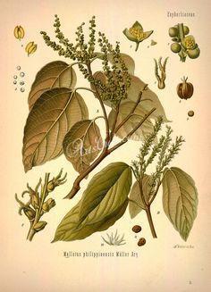 mallotus philippinensis      ...