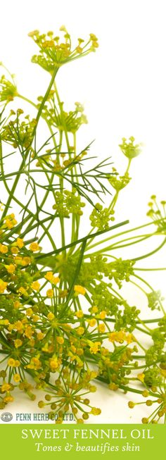 FENNEL OIL…Look and feel good with Fennel. The warm, spicy scent lifts low libido, tones & moisturizes the skin and helps reduce cellulite.