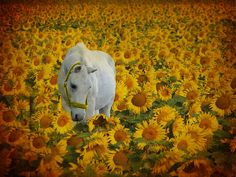 this is heaven. horses and sunflowers everywhere <3