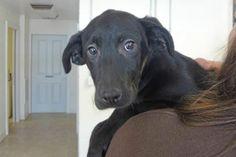 Adopt Hope! [a labradors.com]