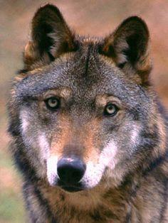Italy - Lazio - Apennine Wolf (Lupo appenninico) from Abruzzo, Lazio and Molise National Park