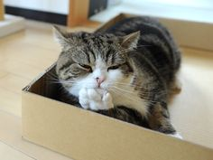 Maru just chillin'.............................in a box...............................oh yeah.............