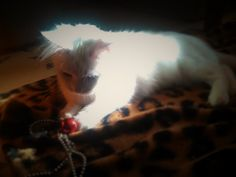 Yuki-https://www.facebook.com/Independent-Cat-Society-Playpens-Page-432225636826080/