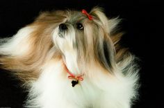 All sizes   Sissy (Lhasa Apso)   Flickr - Photo Sharing!