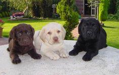 So cute - Raças: Labrador