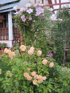 Сочетание розы и клематиса :: Энциклопедия роз