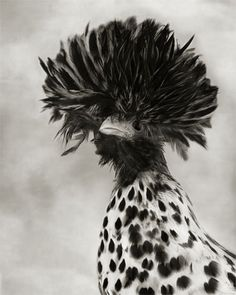 Photographs by Beth Moon available at VERVE Gallery of Photography. Beautiful Birds, Animals Beautiful, Cute Animals, Polish Crested, Polish Chicken, Fancy Chickens, Moon Photography, Rare Birds, All Gods Creatures