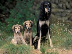 Saluki Sitting up with Two Puppies Photo by Adriano Bacchella at AllPosters.com