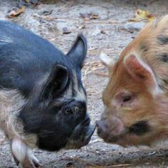 "Kathy's passion for pigs shows in her latest blog post ""Personalities of the Kunekune pig."" - GRIT Magazine"