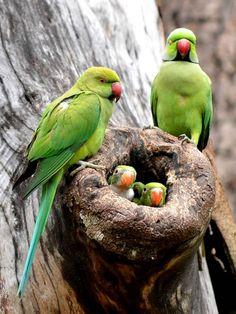 Parrots (Colombo, Sri Lanka) (www.20minutes.fr).