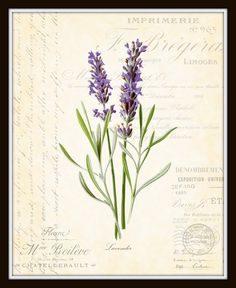 French Lavender Botanical Collage Art Print by BelleMaisonArt, $10.00