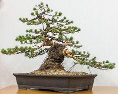 nishiki bonsai - Google Search