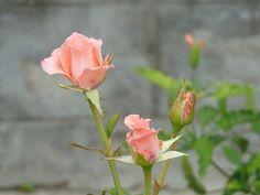 """Psicografias para a minha alma.: Irmã das Rosas - """" Coragem de recomeçar"""" - 18.08.2..."""