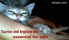 Taurine and Arginine are essential for cats      Taurine and Arginine are essential for cats, Central retinal degeneration, Blindness, Dilated cardiomyopathy, Digestive disorders, Central nervous system disorders https://elicats.it/taurine-and-arginine-are-essential-for-cats/?utm_campaign=crowdfire&utm_content=crowdfire&utm_medium=social&utm_source=pinterest