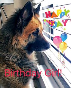 Our big girl Harley turns 8 years old today! Here she is people watching out the window her favorite activity  #birthday#happybirthday#germanshepherd#gsd#gsdofig#dogs#dogsofig#instadogs#dogstagram#rescue#adopt#adoptdontshop#adoptadog#adoptapet#dogsofnyc#pooch#poochesofinstagram#nycdogs#gsdofnyc#gsdofinstagram#nyc#instagram by drippinsassy