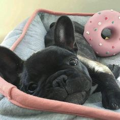 """""""Sleeping with my donut"""", JIP the French Bulldog Puppy ❤️ @mycutestfrenchie  @jipthefrenchie Tag #mycutestfrenchie in your posts for chance to be featured!"""