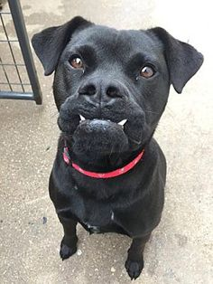 Pictures of Savannah a Labrador Retriever for adoption in Denton, TX who needs a loving home.