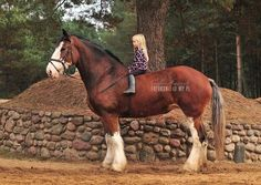Clydsdale gentle scottish giant
