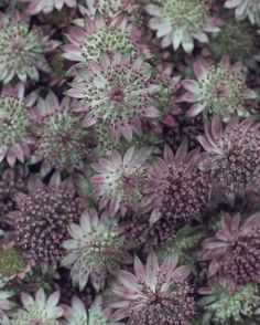 Just how beautiful is this flower? Astrantia 'Roma'. It's their colour and intricate petal structure which get me every time... | #UnderTheFloralSpell #Astrantia #Flowers