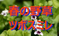 【富山散策】 春の山野草 「ツボスミレ」