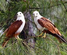 Hook-billed Kite (Chondrohierax uncinatus) by ) Cláudio Dias Timm. | Accipitridae - Hawks, Eagles, Kites | Pinterest