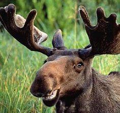moose - Google Search
