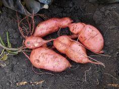 Potatoes, Garden, Garten, Potato, Lawn And Garden, Gardens, Gardening, Outdoor, Yard