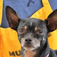 Cute Muttville mutt: Daphne 2842 (Chihuahua mix | Female | Size: small (6-20 lbs)) Age: 8 years