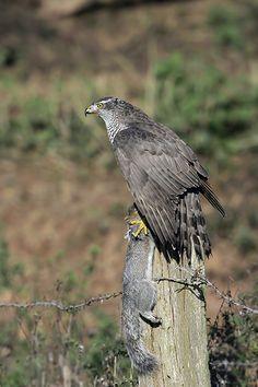 Birds of Prey - Mark Hancox Bird Photography