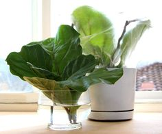 In Love With Fiddle Leaf Fig, and How to Grow It From Cuttings - A Piece Of Rainbow