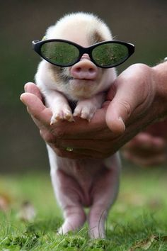 animals in love - | We Heart It,:) nice shades litte pig.