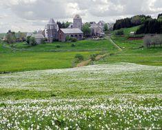 champs de narcisses en Aubrac