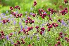 Cirse des rives 'Atropurprureum' - Cirsium rivulare 'Atropurpureum' (Asteraceae)