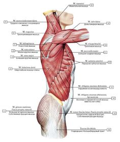 Diagram back muscles upper back human anatomy diagram anatomy similar ideas ccuart Choice Image