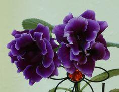 Gloxina - purple