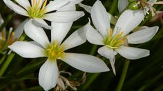 This is a guide about growing rain lily (fairy lily). These pretty pink or white lilies are easy to grow. Expect to see them bloom in late summer or early fall a few days after a rain shower, hence the name. Flowers Name List, Flower Names, Ivy Flower, Rain Lily, Lily Bulbs, Texas Gardening, Star Of Bethlehem, Hardy Plants, Blooming Plants