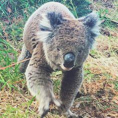 Har haft en helt fantastisk dag på the Great Ocean Road hvor vi bl.a. så vilde cockatoos kænguruer og ikke mindst denne søde Koalafyr der kom kravlende ned ad træet og krydsede vores vej  Kystlinjen er så smuk og jeg glæder mig til endnu en dag med eventyr i morgen! Men først lige en nat på hotellets King Suite  #greatoceanroad #australia #koala #vacay by _sarahwulff