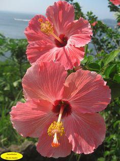 Hibiscus de Niteroí