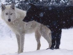 Some say that within every man and woman there is a white wolf and a black wolf. The white wolf is gentle and loves mankind. Beautiful Creatures, Animals Beautiful, Cute Animals, Funny Animals, Wolf Love, Bad Wolf, White Wolf, Black And White, Wolf Black