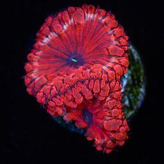 Cherry Red Blastomussa